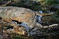 Dead Deer (26149108564).jpg