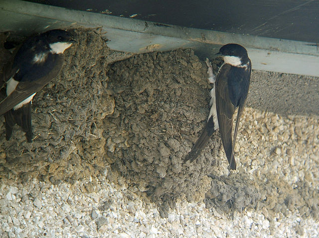Belorítky na hniezdach