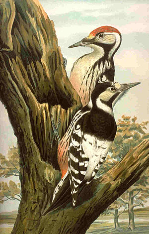 White-backed woodpecker - D. leucotos pair