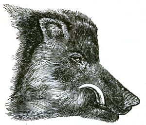 Head of Common wild boar, in prime of life.