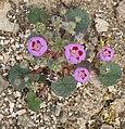 Desert-5spot Eremalche rotundifolia plant.jpg