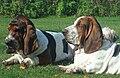 Deux basset-hound.jpg