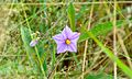 Devil's Apple Flower Solanum linnaeanum (8401966827).jpg