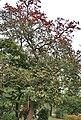 Dhak (Butea monosperma) flowering tree in Kolkata W IMG 4259.jpg