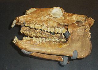 <i>Diadiaphorus</i> genus of mammals (fossil)