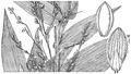 Dichanthelium latifolium (as Panicum latifolium) HC-1935.png