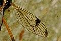 Dictenidia.bimaculata.wing.detail.jpg