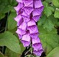 Digitalis purpurea Foxglove (39405313221).jpg