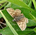 Dingy Skipper. Erynnis tages - Flickr - gailhampshire (2).jpg