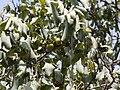Diospyros montana Roxb. (3641812728).jpg