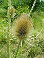 Dipsacus silvester1pl.jpg
