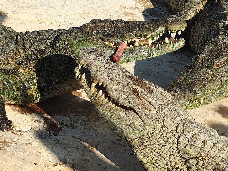 File:Djerba Explore Nile Crocodiles eating 16.JPG