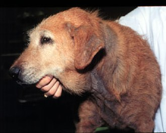 Dog skin disorders - Dog with dermatitis caused by Malassezia (yeast)