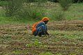 Dona agricultora índia a Varanasi.JPG
