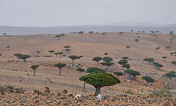 Dragon's Blood Trees, Socotra Island (12454938085).jpg