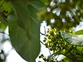 Dregea volubilis (17264651696).jpg