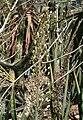 Drimia altissima KirstenboschBotGard09292010CB.jpg