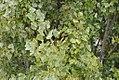 Drvenste vrste biljaka, Niška tvrđava, Niš, Srbija (59).jpg