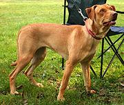 Coated Peruvian Hairless Dog Grande