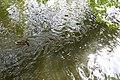 Ducks (17940299531).jpg