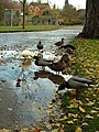 Ducks - geograph.org.uk - 284749.jpg