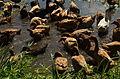 Ducks at nabua farms WTR.jpg
