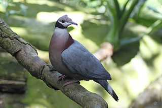 Collared imperial pigeon Species of bird