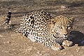 Duesternbrook Leopard.jpg