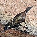 Dusky sunbird (Cinnyris fuscus) male drinking.jpg