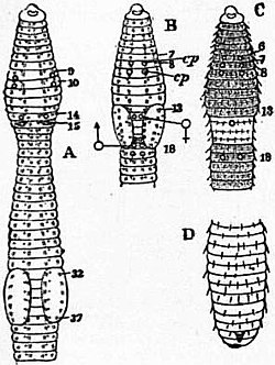 EB1911 Chaetopoda Fig. 10.—Diagrams of various Earthworms, to illustrate external characters.jpg