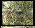 ETH-BIB-Schneisingen, Errat. Alpenrosen, Rhododendron ferrugin-Dia 247-13656.tif