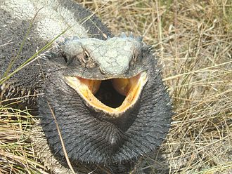 Eastern bearded dragon - Image: Eastern Bearded Dragon defence