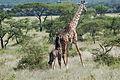 Eastern Serengeti 2012 06 01 3297 (7522728330).jpg