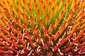Echinacea angustifolia - 01Aug2009 - 03.jpg