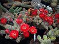 Echinopsis chamaecereus (Peanut Cactus) (3496883355).jpg