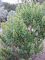 Echium onosmifolium kz1.JPG
