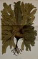 Ecklonia radiata Dawson 1809.png