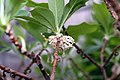 Edgeworthia chrysantha 1zz.jpg