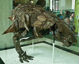 Edmontonia - Mounted skeleton of E. rugosidens, specimen AMNH 5665