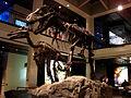 Edmontosaurus & Tyrannosaurus HMNS.jpg