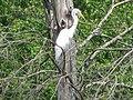 Egret (3574218940).jpg