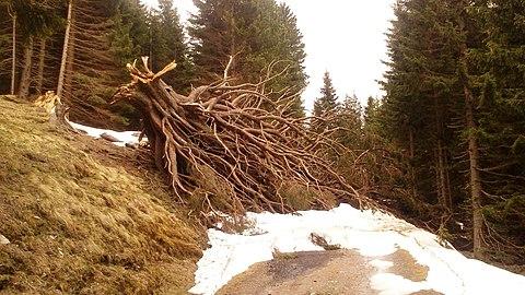 Ehem. Kandelaberfichte beim vulgo Grubenbauer, Gemeinde Ebene Reichenau, Kärnten.jpg