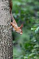 Eichhörnchen (Sciurus vulgaris) Konstantinhügel Wiener Prater 2020-07-12 d.jpg