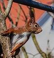 Eichhörnchen IMG 1327.jpg