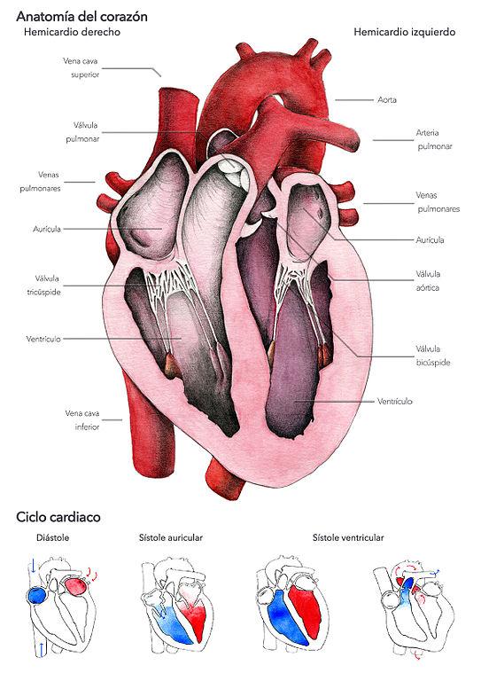 File:El corazón humano - Laura Macías Álvarez.jpg - Wikimedia Commons