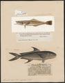 Elacate nigra - 1700-1880 - Print - Iconographia Zoologica - Special Collections University of Amsterdam - UBA01 IZ13500244.tif