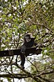 Electrocuted lion-tailed macaque infant in Valparai DSC 2592.jpg