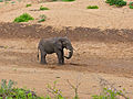 Elephant (Loxodonta africana) drinking from a hole in the Mphongolo dry riverbed (11711110313).jpg