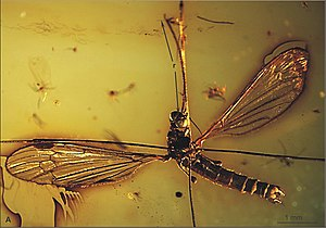 1850 in paleontology - Elephantomyia pulchella