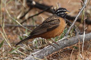 Cinnamon-breasted bunting species of bird